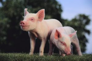 Two Yorkshire Pigs